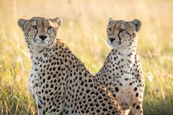 Mara Meru Cheetah Project